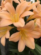 Clivia miniata Tipperary Peach x 3 Seed. UK National Collection Holders.