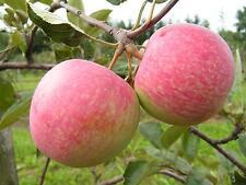 Apfel,Sommerapfel KONFETNOE,Candy Apfel,Apfelbaum ca 140 cm.,ЯБЛОНЯ КОНФЕТНОЕ