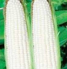 CORN, WHITE, STOWELL'S EVERGREEN, HEIRLOOM, ORGANIC 20+ SEEDS, DELICIOUS N SWEET