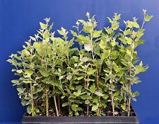 POPULUS ALBA alv offerta 40 piante di Pioppo bianco da talea Gattice