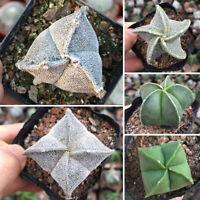 Succulent Cactus Live Plant - Astrophytum Myriostigma Lem.4cm -Garden Rare Plant