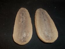 Mazon Creek Fossils Perfect Pecopteris Fern Morris, Illinois Complete Awesome