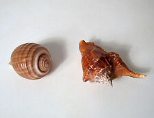 2 anciens coquillages