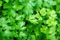 Parsley Fragrant seeds organic seeds 3 g Ukraine non gmo Farmer's dream
