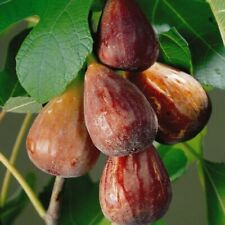Ficus Carica 'Brown Turkey'- Fig- Starter Plant - Approx 3-4 Inch