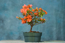 Showy 'Rosesanka' Bougainvillea pre-bonsai! Colorful Flowers Year-Round
