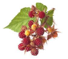 Japanische Weinbeere Pflanze Rubus phoenicolasius Beeren mit Geschmackserlebnis