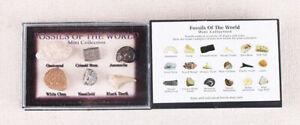 Quadretto Da Collezione Regalo Con 6 Fossili Naturali Autentici Dente di Squalo