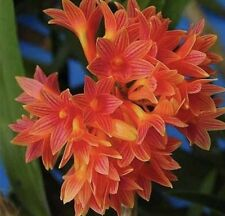 Dendrobium Usitae 'Red Coral' Den Species Orchid Plant Blooming Size