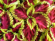 15 Pelleted Seeds Coleus Kong Rose Giant Coleus Seeds