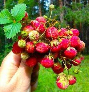 Fragaria viridis -extra fertile rare strawberry