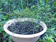 Rare Exotic Ornamental Climber Bauhinia yunnanesis (corymbosa) -1 plant
