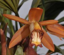 Coelogyne odoardi species orchid