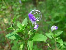 Bluecurls Seeds (Trichostema dichotomum) 100 Seeds - Native Wildflower