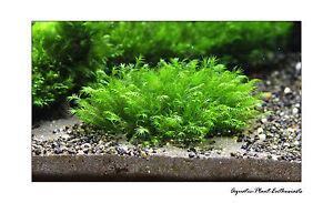 Fissidens Fontanus on Wire Mesh EASY AQUARIUM PLANT / Live Aquarium Plant / Rare