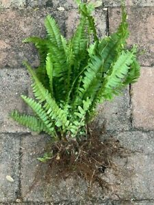 Lot of 15 Live Boston Fern Plants w roots: Air Purifying Plant and easy to grow!