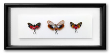 """REAL FRAMED CICADAS #2 - Penthicodes, 3 Color Species, INSECT ART 14"""" x 6.5"""""""
