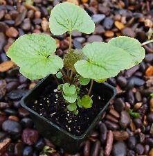 10  x   PLANTS WASABI seedlings Japan sushi rhizomes planta plants seed SEED