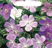 Geranium pratense 'Painter's Palette'- FREE DELIVERY ON 5 OR MORE OF ANY PLANTS