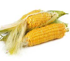 """SWEET CORN """"Supersweet Max""""  fresh seeds 20 VEGETABLE SEEDS"""