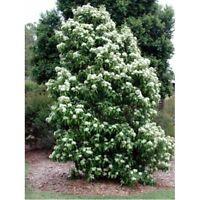 Lemon Scented Myrtle Seed Evergreen Native Tree Warm Area Backhousia citriodora