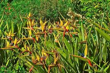 Bird of Paradise 'Mandela's Gold' Quart Pot