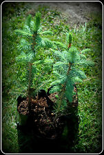3 x Young Colorado Blue Spruce Picea Pungens Sapling Trees 15cm x 20cm