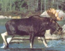 Alaskan Wild Moose Big Rack Crossing Lake Animal Wall Decor Art Print (16x20)