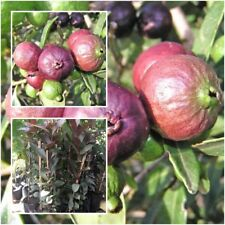 Guava Red Cherry ''Daeng Thapthim Sayam'' Tree Plant Fruit Tropical Tall 20''