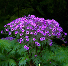 Geranium maderense (Madeira Cranesbill) 5 to 25 Seeds | RARE Outdoor Flowers UK