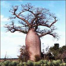 ***10 seeds ADANSONIA DIGITATA*BAOBAB*DEAD RAT TREE***FREE SHIPPING***
