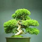 20pc Wholesale Green Greeting Pine Japanese Cedar Semillas Bonsai Plant Seeds