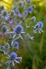 Eryngium ' blue glitter' (50+ seeds) Neon blue perennial - sea holly seeds