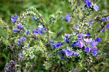 Wild Flower Seeds Vipers Bugloss Echium vulgare Native Meadow Plant Blue & Pink