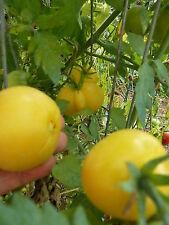 15 graines semences  tomate PECHE  jaune rare   Seeds Produites en France Bio