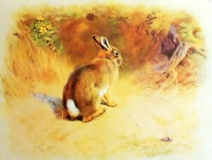 RABBIT SAT OUTSIDE ITS BURROW.. VINTAGE 1970s PRINT OF A PAINTING BY A THORBURN