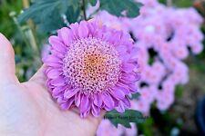"Chrysanthemum ""Dorothy Mechen"" x 1 plant. Combined postage"