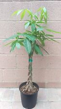 Money Tree / Feng Shui Plant / Good Luck Tree + FREE 1 Plant Food