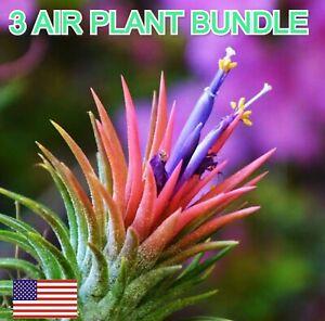 Air Plant Iona 3 bundle US Deal Airplant, Tillandsia wholesale Bulk Sale Wedding