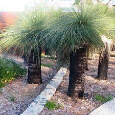 XANTHORRHOEA australis Grass Tree Seeds (N 29)