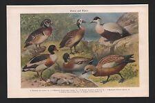 Chromo-litografía 1926: patos. y gansos. novia-viudas-eider-Brand - Stock-óxido