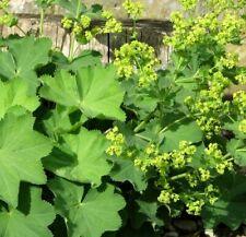 Alchemilla Mollis 'Lady's Mantle' -Hardy Foliage Perennial Plant in 9cm Pot