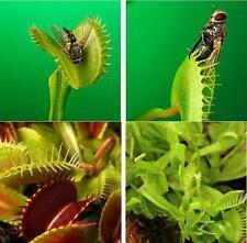 Semi DIONAEA MUSCIPULA GIGANTE Venus Fly Trap Clip Semi 300 PZ semi di fiori