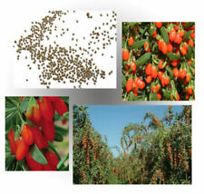 Goji Berry Lycium Barbarum Wolfberry seeds -Plant your Own Healthy Fruit Garden