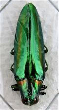 Beautiful Jewel Beetle Chrysochroa rajah thailandica FAST SHIPPING FROM USA