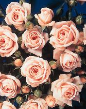 Miniature Patio Rose Bush Pink 5.5L Pot Special Friend Vintage 15cm - 45cm