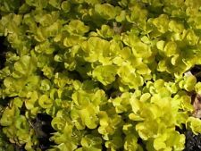 3 x Lysimachia nummularia aurea (Golden creeping jenny) Marginal Pond Plants.