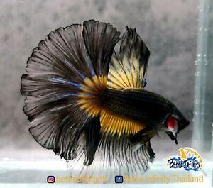 Luxury! (Limitid) Premium Live Betta Fish:Male:RoseTail Dark Mustard (Moonlight)