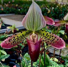 Paphiopedilum Hybride ´Golden Revolver´ blühstark Orchidee Orchideen