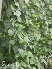 ♫ HARICOT Grimpant 'Coco Blanc à Rame' -Phaseolus ♫ Graines ♫ Potagère Gustative